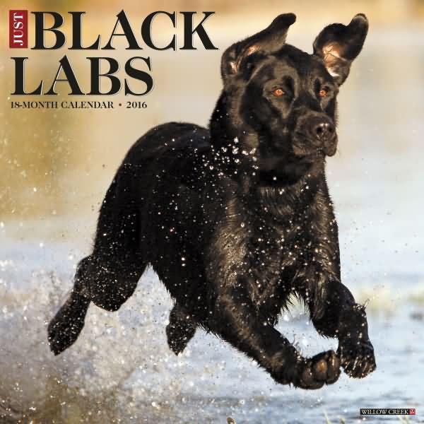Calendar Labs : Labrador calendars black yellow chocolate labs