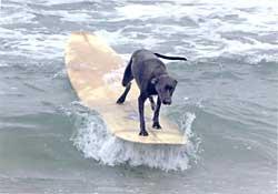black_labrador_surfing.jpg