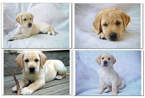 Pictures Puppies on Yellow Labrador Retriever Puppies   A Poster Featuring Photo Art